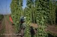 Une remorque récolte les lianes