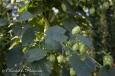 Cônes et feuilles de houblons