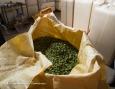 Mise en sac des cônes de houblon