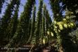 Grappe de cônes de houblon au coeur de la houblonnière