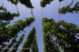 Vertigineux houblon