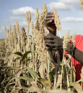 Plantation de sorgho en Tanzanie (Photo : SABMiller plc)