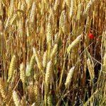 Les brasseurs victimes de la hausse des céréales