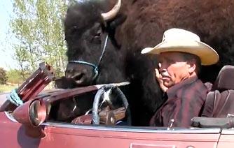 Un bison part en décapotable boire une bière