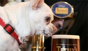 Bière pour chien dans un pub ©L'Express/NATIONAL PICTURES/MAXPPP