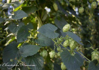 houblon-poperinge-3