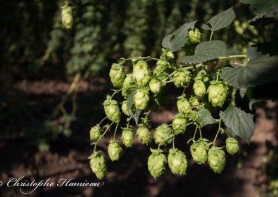 houblon-poperinge-7