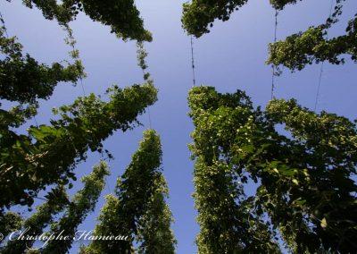 houblon-poperinge-8