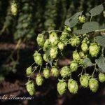Echapper à la pénurie de houblon grâce à des OGM ?