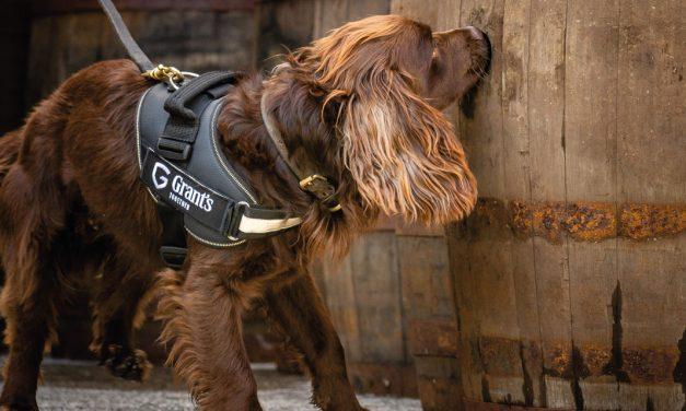 Rocco, le Cocker Spaniel au service qualité de Grant's